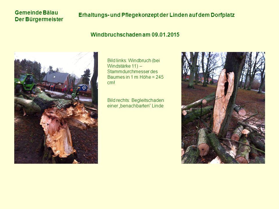 Gemeinde Bälau Der Bürgermeister Erhaltungs- und Pflegekonzept der Linden auf dem Dorfplatz Windbruchschaden am 09.01.2015 Bild links: Windbruch (bei Windstärke 11) – Stammdurchmesser des Baumes in 1 m Höhe = 245 cm.