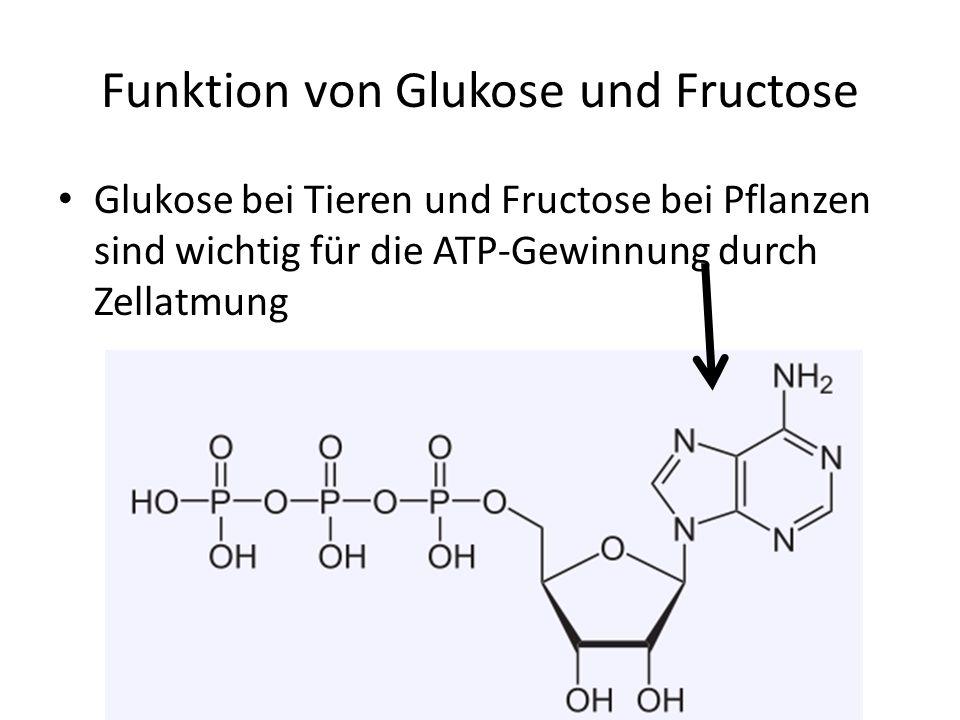 Funktion von Glukose und Fructose Glukose bei Tieren und Fructose bei Pflanzen sind wichtig für die ATP-Gewinnung durch Zellatmung