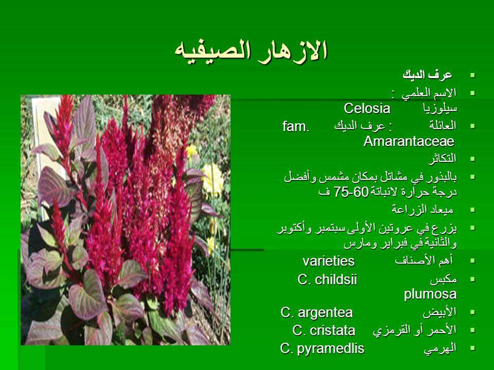 الازهار الصيفيه  عرف الديك  الاسم العلمي : سيلوزيا Celosia  الاسم العلمي : سيلوزيا Celosia  العائلة : عرف الديك fam.