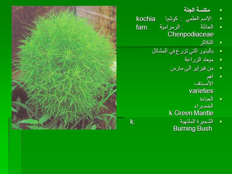 مكنسة الجنة  الاسم العلمي : كوشيا kochia  العائلة : الرمرامية fam. Chenpodiaceae  التكاثر  بالبذور التي تزرع في المشاتل  ميعاد الزراعة  من فبر