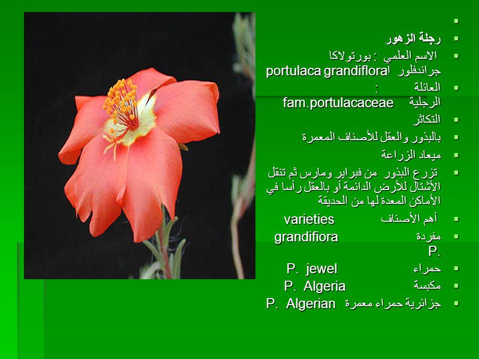  ررررجلة الزهور الاسم العلمي :بورتولاكا جراندفلور اportulaca grandiflora اااالعائلة : الرجلية fam.portulacaceae اااالتكاثر ببببالبذو