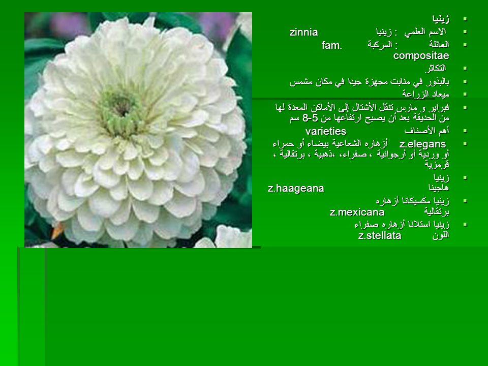    فل إفرنجي  الاسم العلمي : فنكاروزا vinca rosea  من العائلة : الدفلية fam.