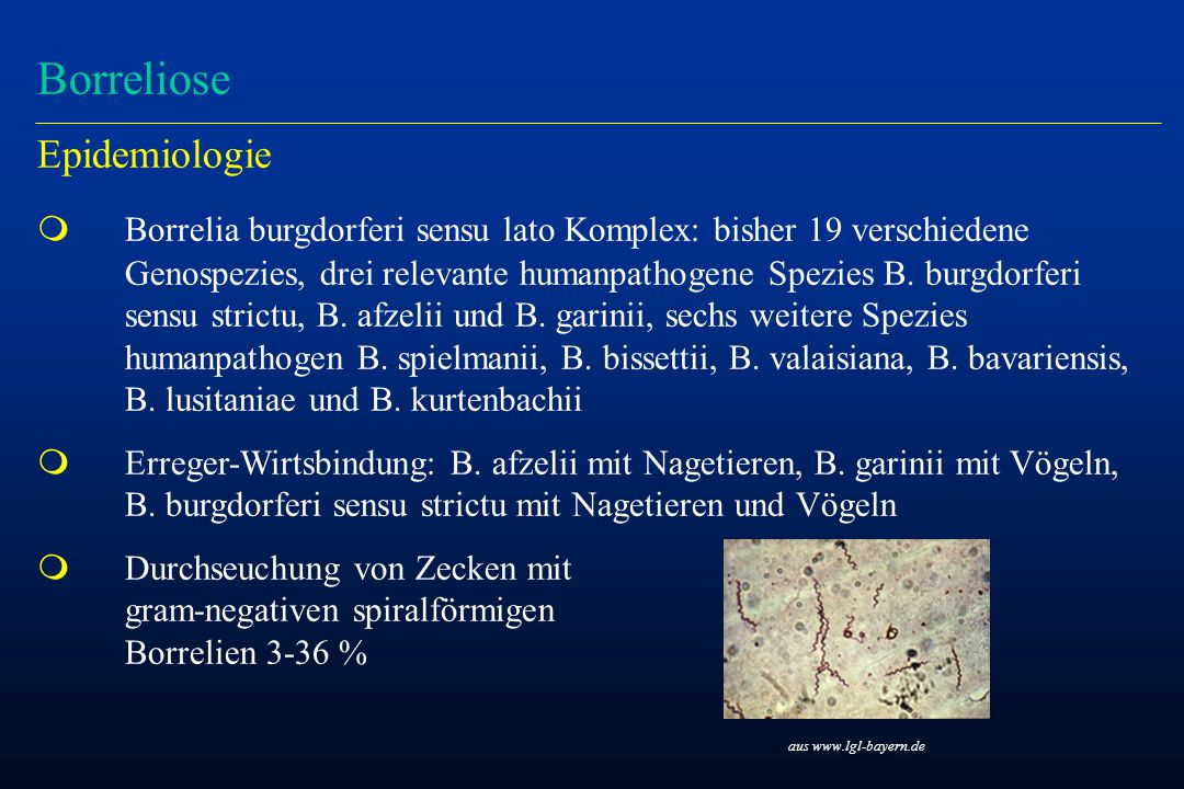 Borreliose Epidemiologie m Borrelia burgdorferi sensu lato Komplex: bisher 19 verschiedene Genospezies, drei relevante humanpathogene Spezies B. burgd