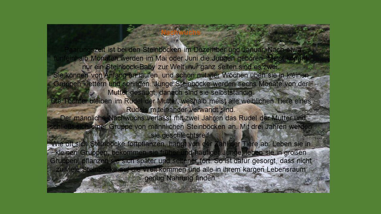 Freunde und Feinde Wölfe, Bären und Luchse können Steinböcken gefährlich werden, aber da es sie bei uns kaum noch gibt, haben erwachsene Steinböcke bei uns keine natürlichen Feinde.