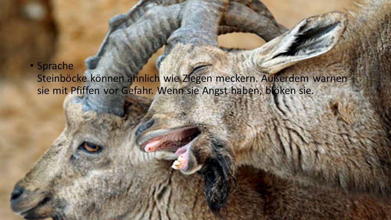 Rassen und Arten Dem Alpensteinbock sehr ähnlich ist der Iberische Steinbock, der auf der Iberischen Halbinsel lebt, sowie die Bezoarziege, das Mufflon und die Gemse.