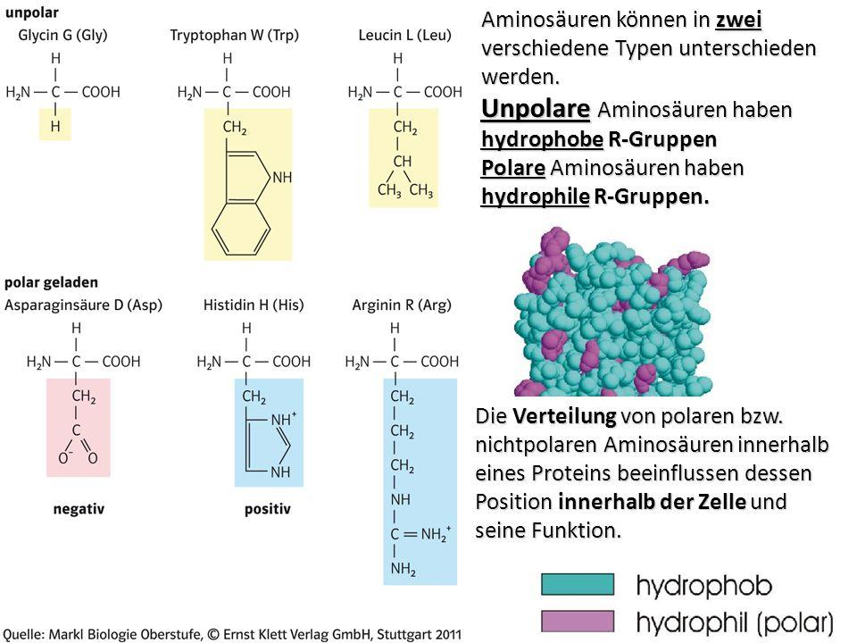 Aminosäuren können in zwei verschiedene Typen unterschieden werden.