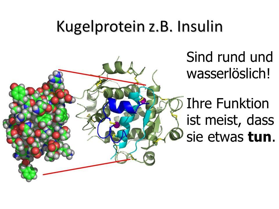 Kugelprotein z.B. Insulin Sind rund und wasserlöslich! Ihre Funktion ist meist, dass sie etwas tun.