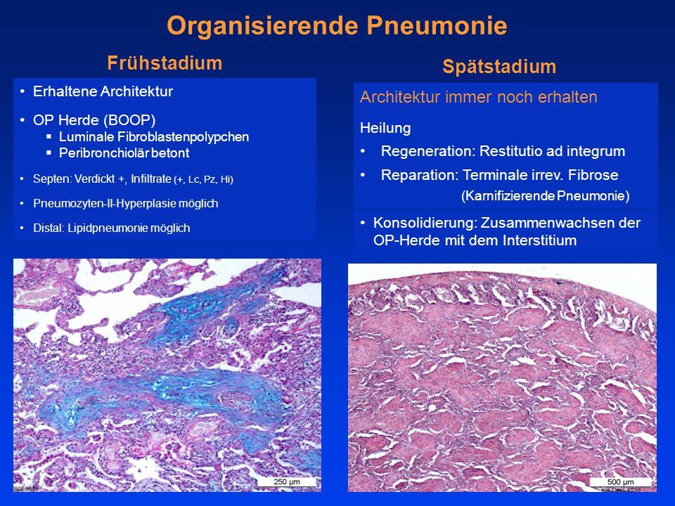Erhaltene Architektur OP Herde (BOOP)  Luminale Fibroblastenpolypchen  Peribronchiolär betont Septen: Verdickt +, Infiltrate (+, Lc, Pz, Hi) Pneumozyten-II-Hyperplasie möglich Distal: Lipidpneumonie möglich Organisierende Pneumonie Frühstadium Architektur immer noch erhalten Heilung Regeneration: Restitutio ad integrum Reparation: Terminale irrev.