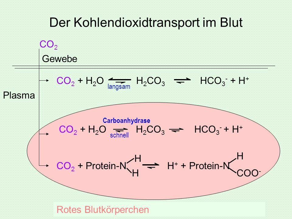 Der Kohlendioxidtransport im Blut Gewebe CO 2 + H 2 O H 2 CO 3 HCO 3 - + H + CO 2 + Protein-N H + + Protein-N CO 2 + H 2 O H 2 CO 3 HCO 3 - + H + CO 2