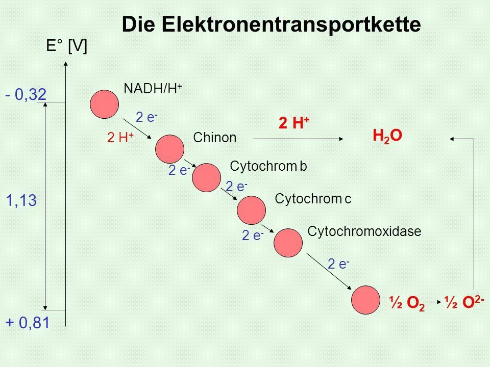 NADH/H + Chinon Cytochrom b Cytochrom c Cytochromoxidase ½ O 2 ½ O 2- 2 e - 2 H + H2OH2O E° [V] + 0,81 - 0,32 1,13 Die Elektronentransportkette 2 H +
