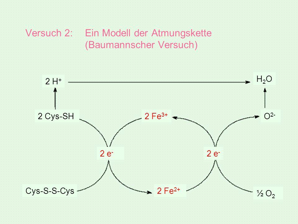 Versuch 2:Ein Modell der Atmungskette (Baumannscher Versuch) 2 e - 2 Cys-SH Cys-S-S-Cys 2 Fe 3+ 2 Fe 2+ 2 e - ½ O 2 O 2- H2OH2O 2 H +