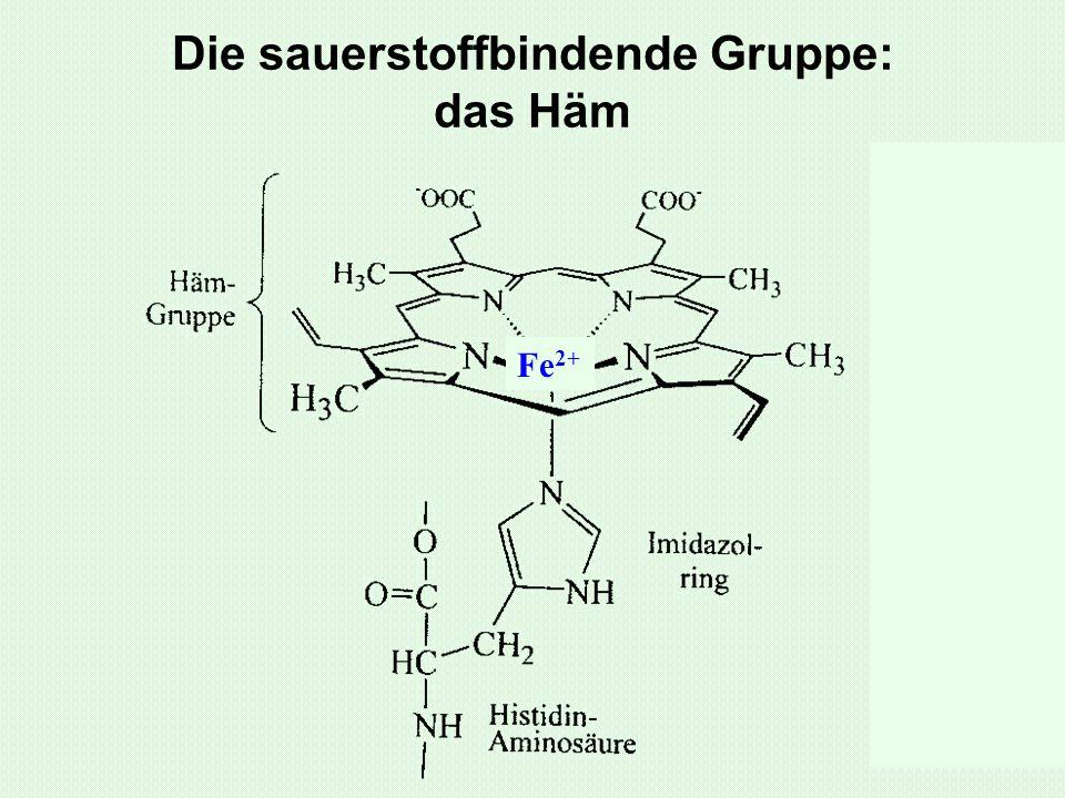 Die sauerstoffbindende Gruppe: das Häm Fe 2+