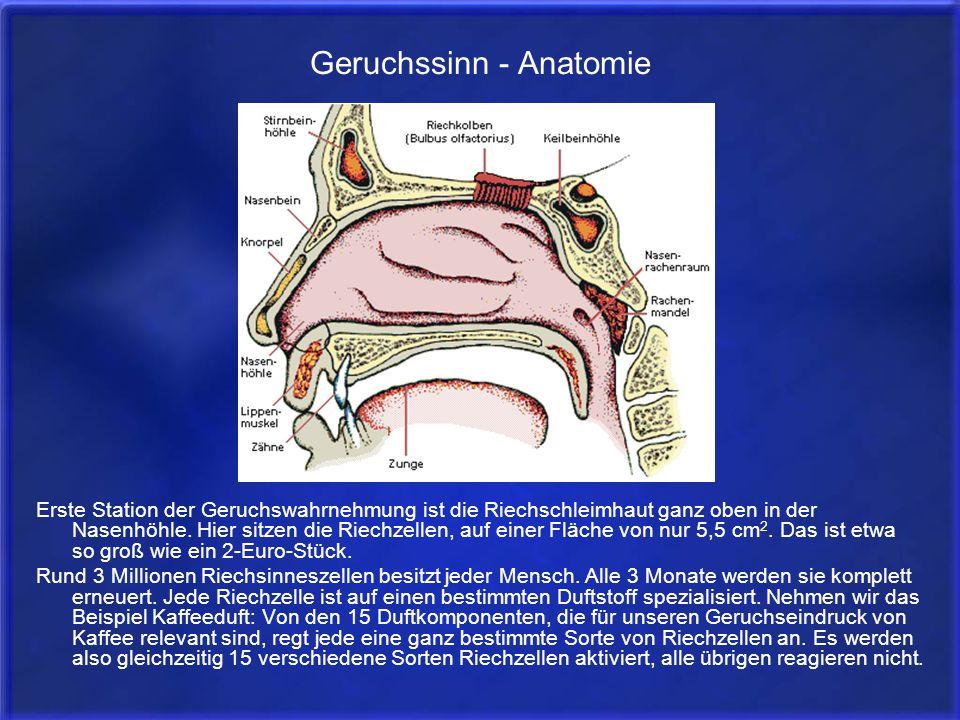 Geruchssinn - Anatomie Erste Station der Geruchswahrnehmung ist die Riechschleimhaut ganz oben in der Nasenhöhle. Hier sitzen die Riechzellen, auf ein