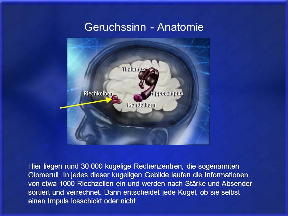 Geruchssinn - Anatomie Hier liegen rund 30 000 kugelige Rechenzentren, die sogenannten Glomeruli. In jedes dieser kugeligen Gebilde laufen die Informa