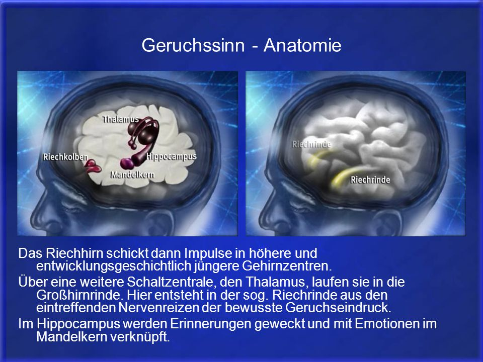 Geruchssinn - Anatomie Das Riechhirn schickt dann Impulse in höhere und entwicklungsgeschichtlich jüngere Gehirnzentren. Über eine weitere Schaltzentr