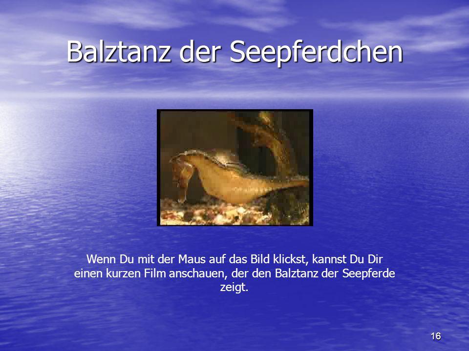 16 Balztanz der Seepferdchen Wenn Du mit der Maus auf das Bild klickst, kannst Du Dir einen kurzen Film anschauen, der den Balztanz der Seepferde zeig