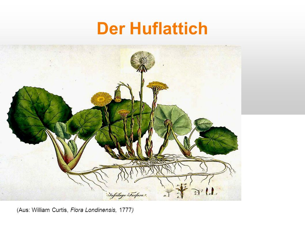 Der Huflattich (Aus: William Curtis, Flora Londinensis, 1777)