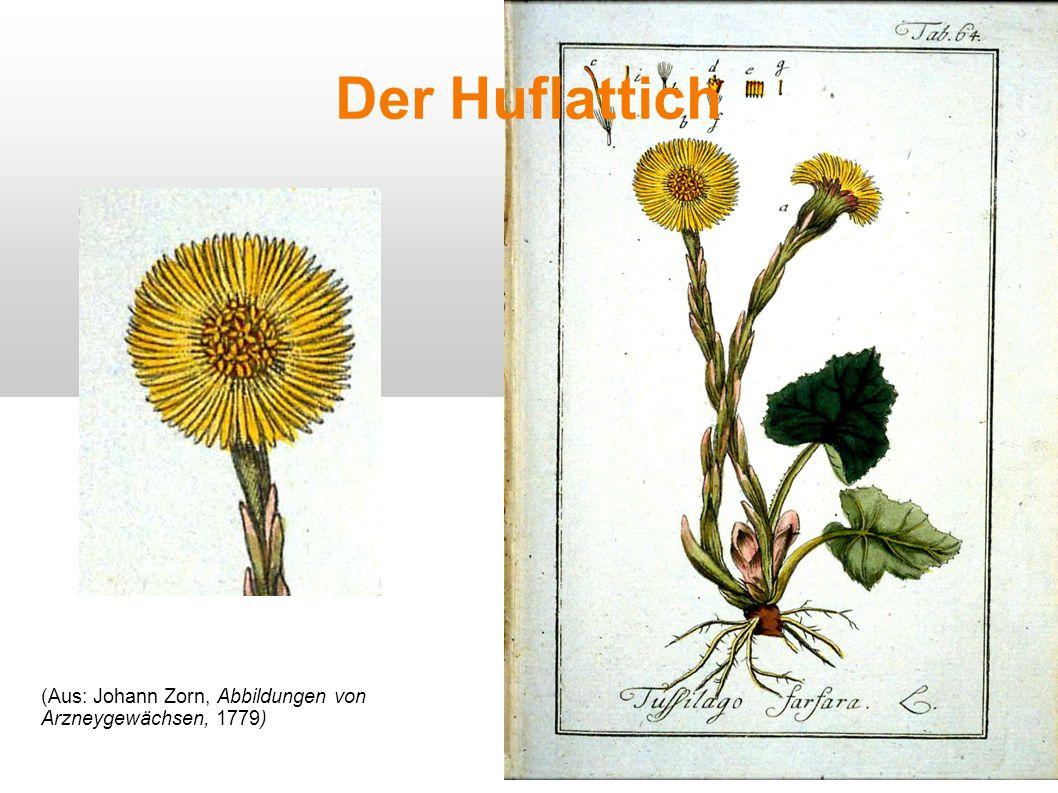 Der Huflattich (Aus: Johann Zorn, Abbildungen von Arzneygewächsen, 1779)