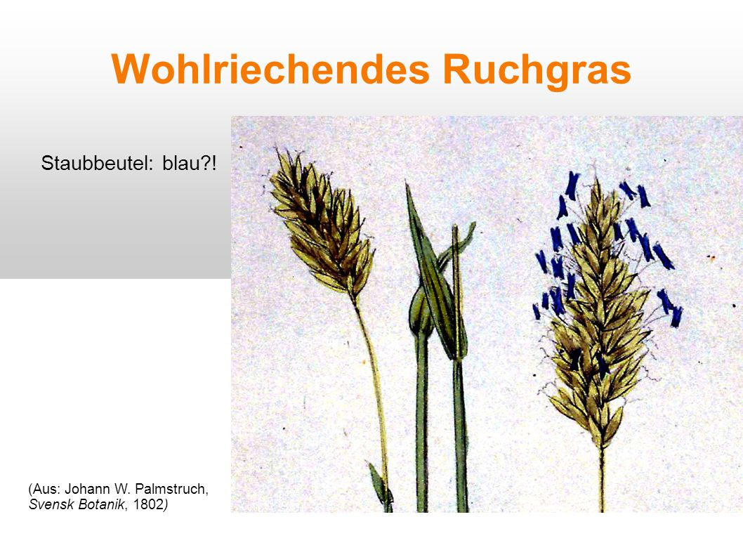 Wohlriechendes Ruchgras Staubbeutel: blau?! (Aus: Johann W. Palmstruch, Svensk Botanik, 1802)