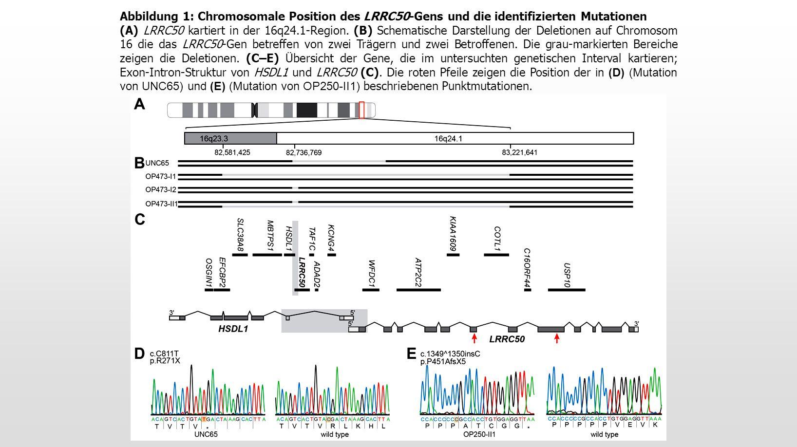 Abbildung 1: Chromosomale Position des LRRC50-Gens und die identifizierten Mutationen (A) LRRC50 kartiert in der 16q24.1-Region.