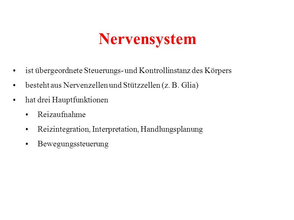 Nervensystem ist übergeordnete Steuerungs- und Kontrollinstanz des Körpers besteht aus Nervenzellen und Stützzellen (z. B. Glia) hat drei Hauptfunktio
