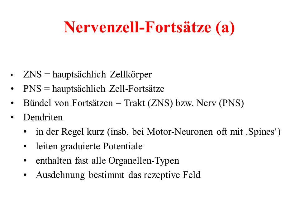 Nervenzell-Fortsätze (a) ZNS = hauptsächlich Zellkörper PNS = hauptsächlich Zell-Fortsätze Bündel von Fortsätzen = Trakt (ZNS) bzw. Nerv (PNS) Dendrit