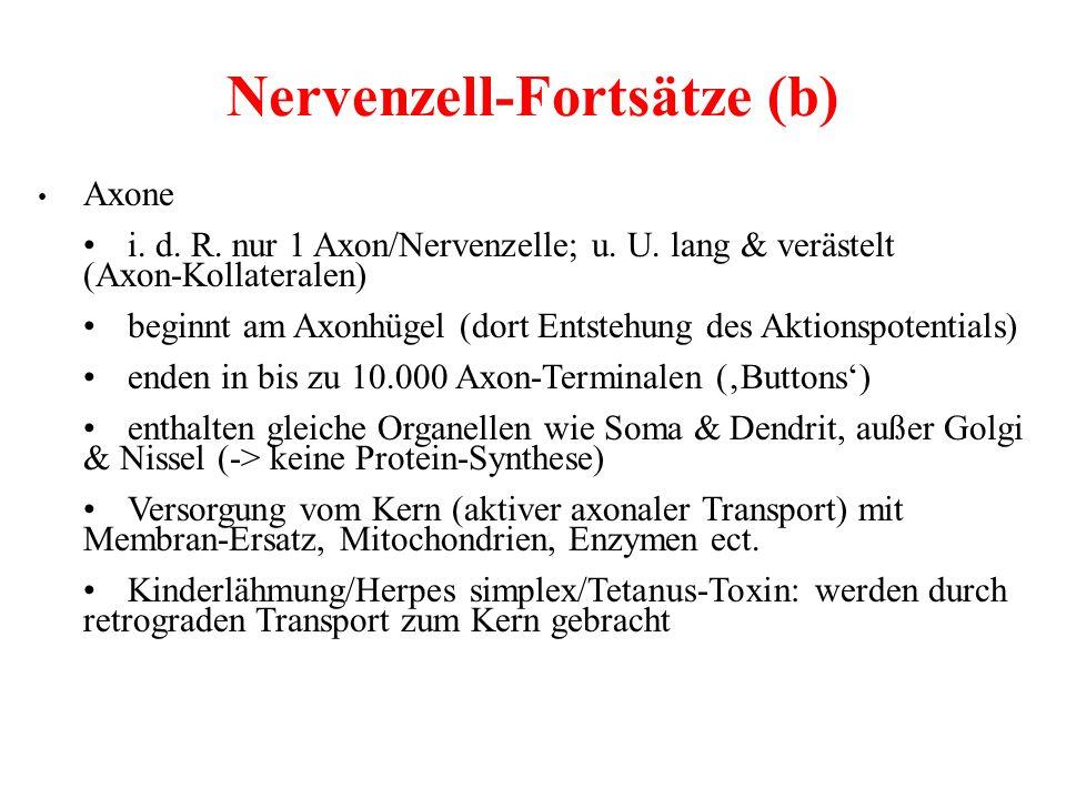 Nervenzell-Fortsätze (b) Axone i. d. R. nur 1 Axon/Nervenzelle; u. U. lang & verästelt (Axon-Kollateralen) beginnt am Axonhügel (dort Entstehung des A
