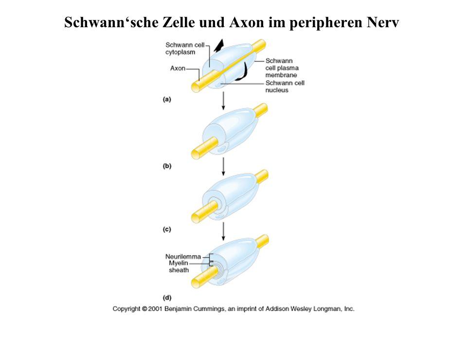 Schwann'sche Zelle und Axon im peripheren Nerv