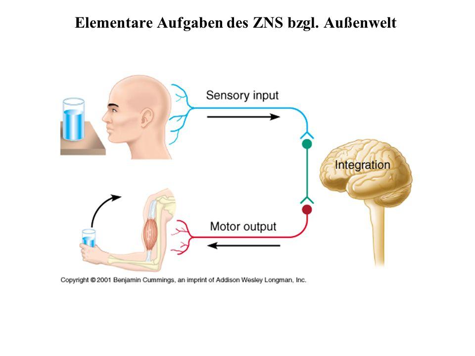 Aufbau des Nervensystems ZNS besteht zu 80 % aus Zellen, 20 % Extrazellulärsubstanz Zentrales Nervensystem (ZNS)peripheres Nervensystem GehirnHirnnerven RückenmarkSpinalnerven --------------------------------------- sensorische Nerven (afferent) somatisch viszeral motorische Nerven (efferent) somatisch autonom (viszeral)