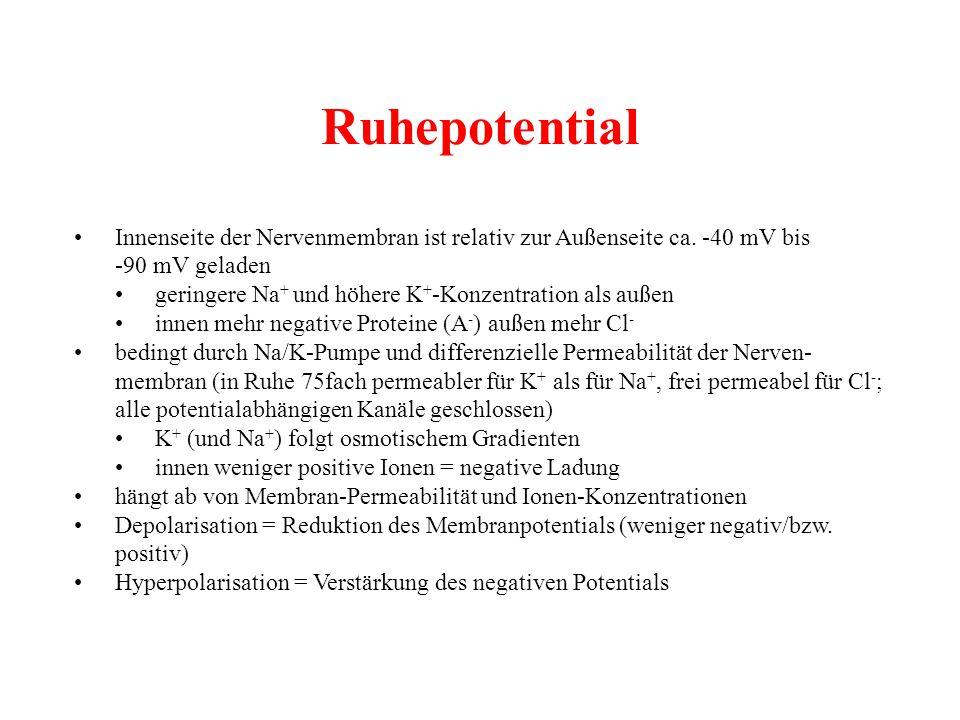 Ruhepotential Innenseite der Nervenmembran ist relativ zur Außenseite ca. -40 mV bis -90 mV geladen geringere Na + und höhere K + -Konzentration als a