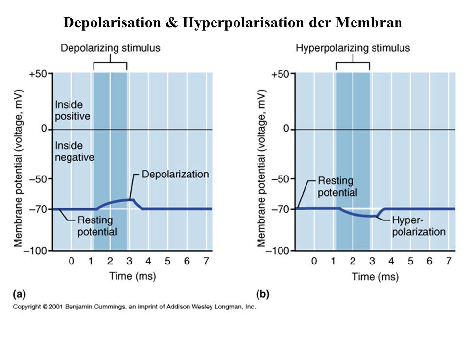 Depolarisation & Hyperpolarisation der Membran