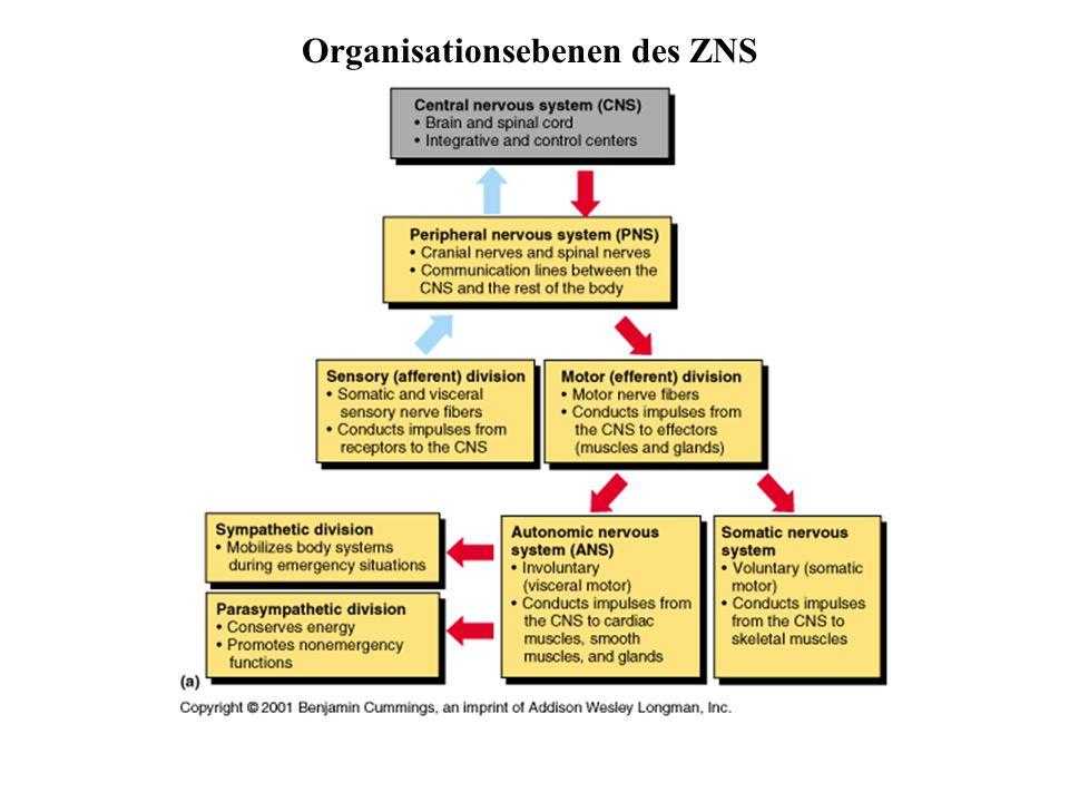 Organisationsebenen des ZNS