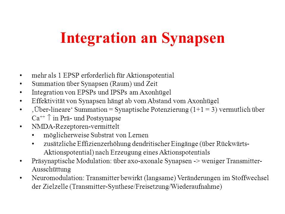 Integration an Synapsen mehr als 1 EPSP erforderlich für Aktionspotential Summation über Synapsen (Raum) und Zeit Integration von EPSPs und IPSPs am A