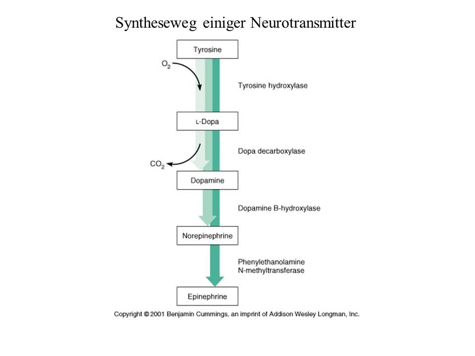 Syntheseweg einiger Neurotransmitter
