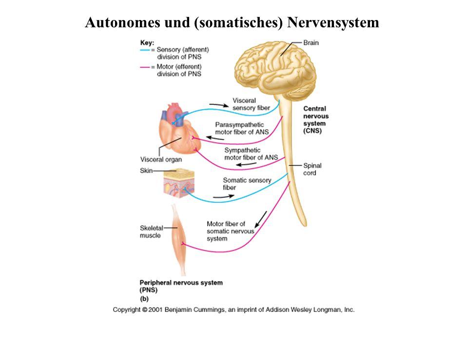 Stützzellen (Glia) im PNS 2 Typen in Peripherie (PNS), 4 Typen im ZNS Aufgaben: Ernährung der Nervenzellen / Stützstrukturen / Elektrische Isolation / Leitstrukturen während Wachstum Schwann-Zellen umgeben größere Nervenfasern erzeugen Myelin-Scheiden funktionell ähnlich den Oligodendrozyten essentiell für Regeneration peripherer Nerven Satelliten-Zellen umhüllen Neurone in Ganglien Funktion weitgehend ungeklärt
