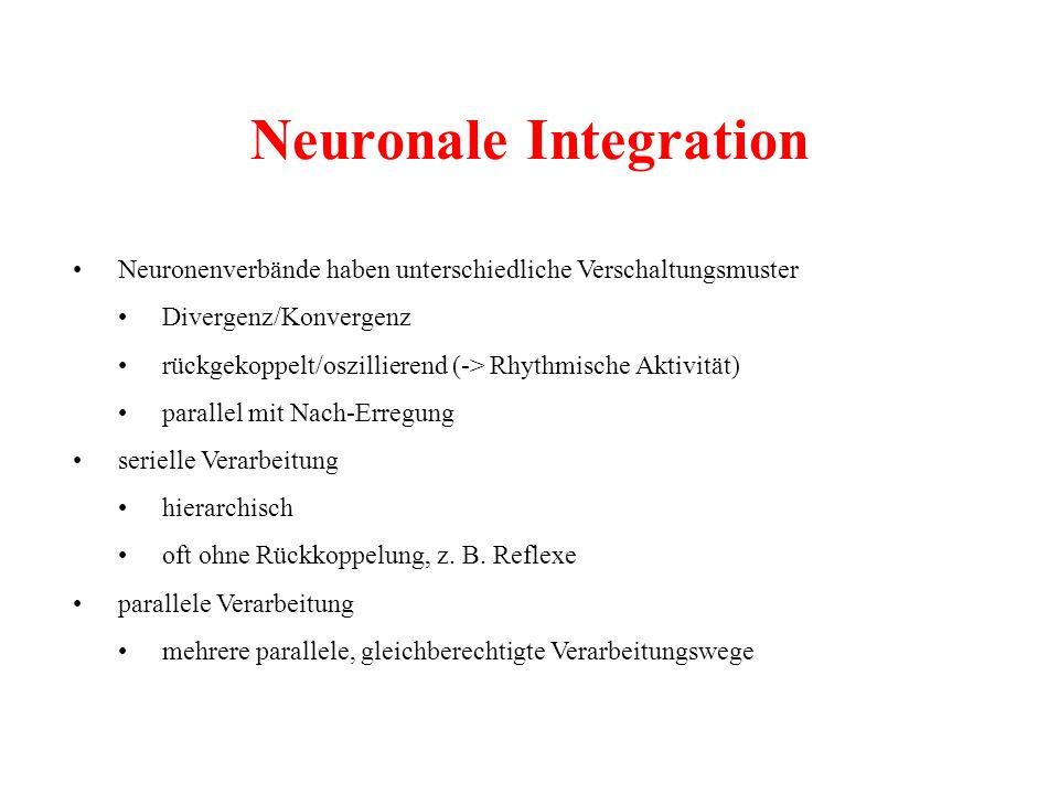 Neuronale Integration Neuronenverbände haben unterschiedliche Verschaltungsmuster Divergenz/Konvergenz rückgekoppelt/oszillierend (-> Rhythmische Akti