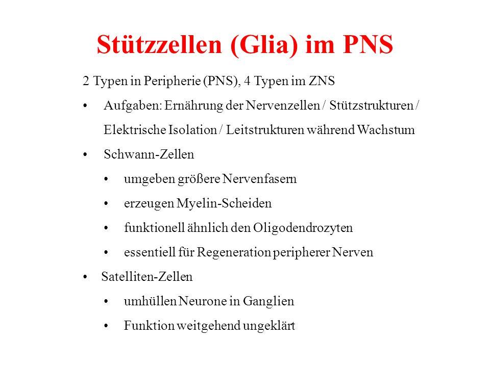 Stützzellen (Glia) im PNS 2 Typen in Peripherie (PNS), 4 Typen im ZNS Aufgaben: Ernährung der Nervenzellen / Stützstrukturen / Elektrische Isolation /