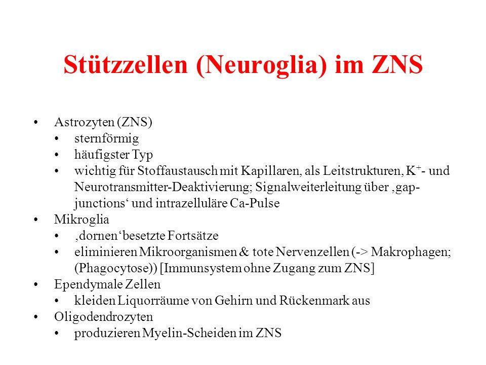 Stützzellen (Neuroglia) im ZNS Astrozyten (ZNS) sternförmig häufigster Typ wichtig für Stoffaustausch mit Kapillaren, als Leitstrukturen, K + - und Ne