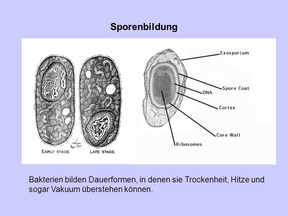 Sporenbildung Bakterien bilden Dauerformen, in denen sie Trockenheit, Hitze und sogar Vakuum überstehen können.