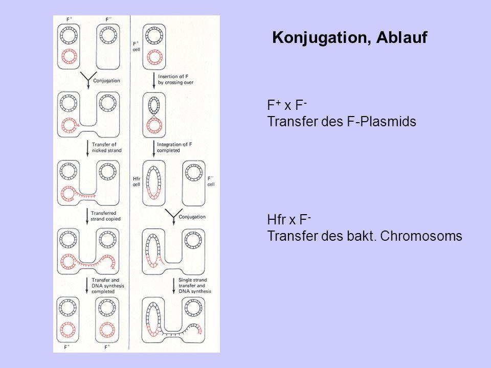Konjugation, Ablauf F + x F - Transfer des F-Plasmids Hfr x F - Transfer des bakt. Chromosoms