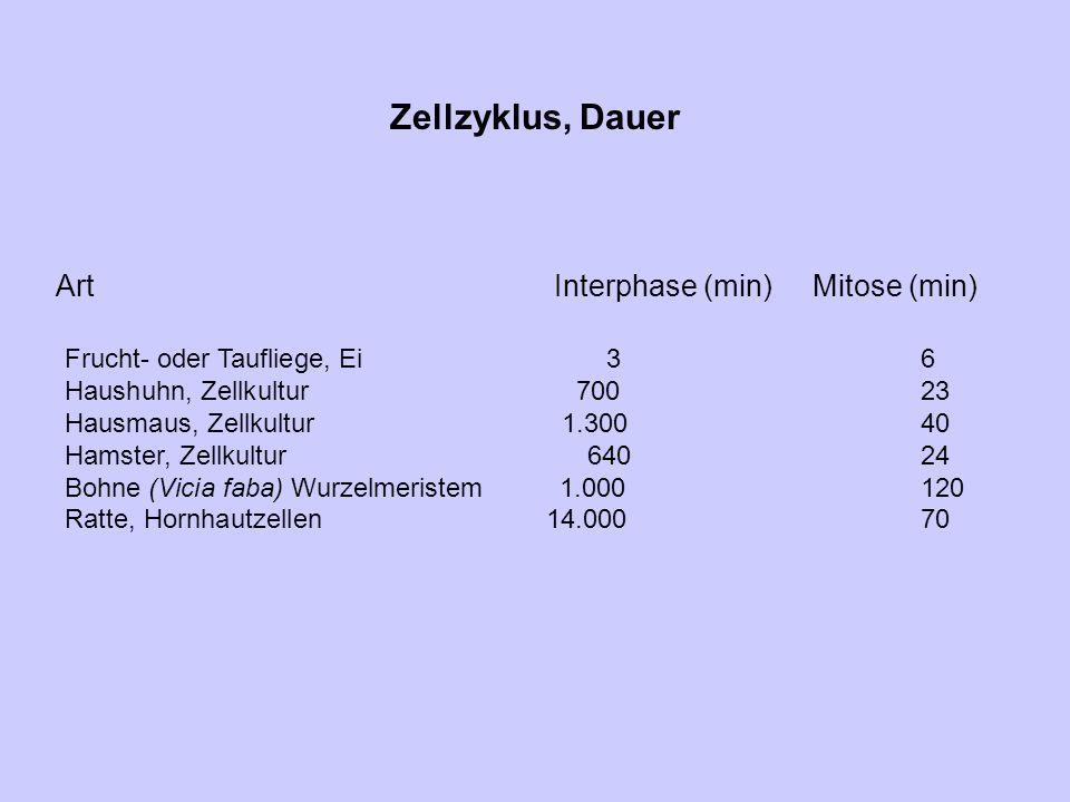 Zellzyklus, Dauer ArtInterphase (min) Mitose (min) Frucht- oder Taufliege, Ei36 Haushuhn, Zellkultur70023 Hausmaus, Zellkultur 1.30040 Hamster, Zellku