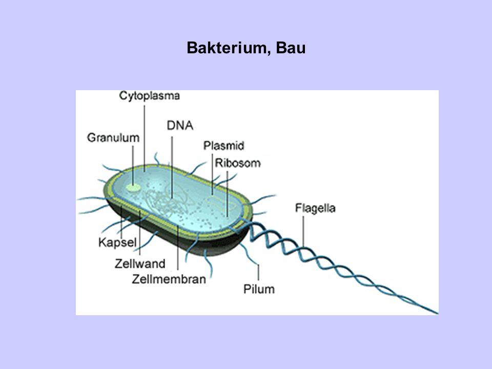 Zellwand Die bakterielle Zellwand besteht aus Murein, einem einzigen Molekül.