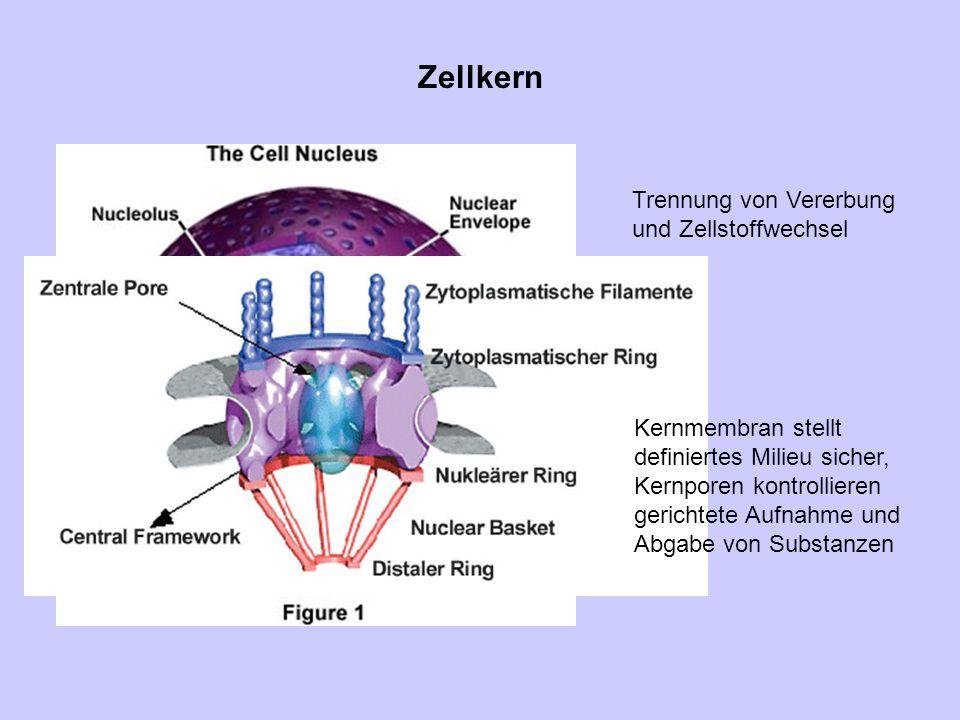 Zellkern Trennung von Vererbung und Zellstoffwechsel Kernmembran stellt definiertes Milieu sicher, Kernporen kontrollieren gerichtete Aufnahme und Abg