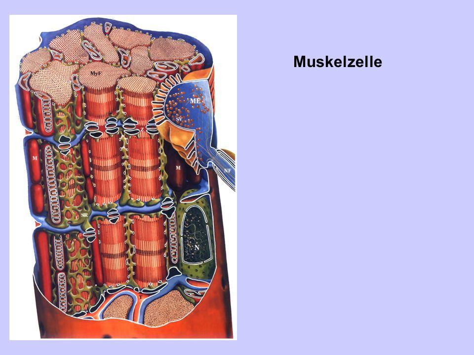 Muskelzelle