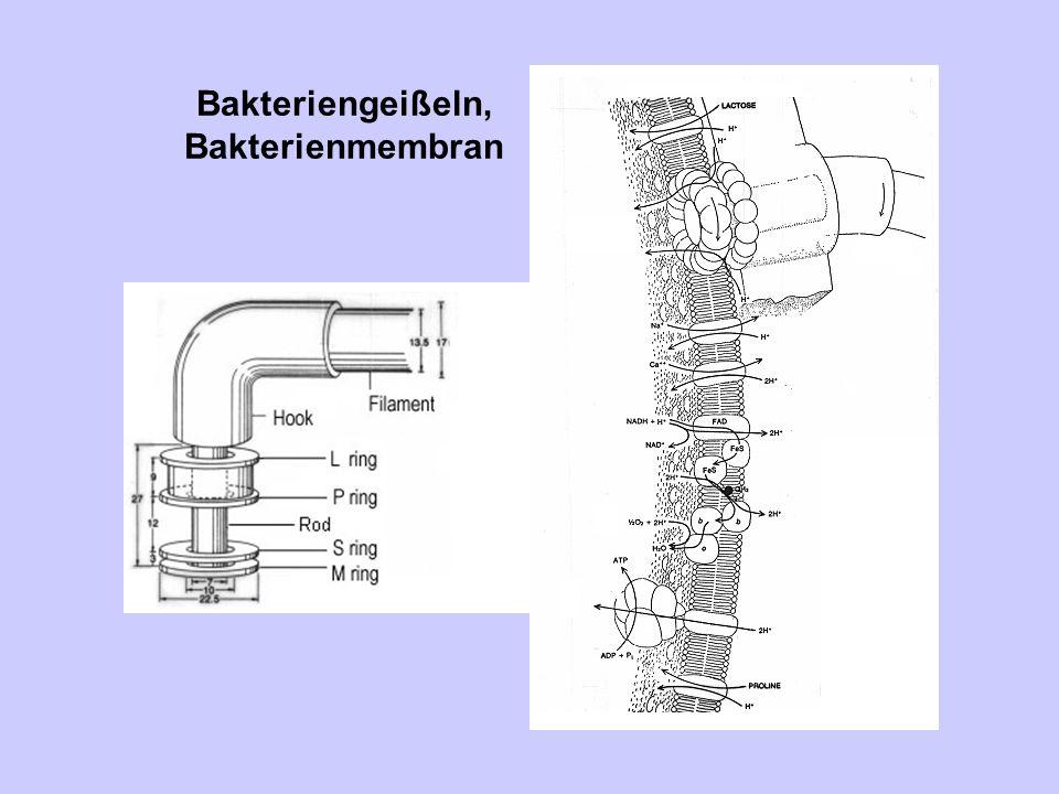 Bakterienmembran, Aufgaben 1.Osmotische und Permeabilitätsbarriere 2.Transportsysteme für Nahrungsbestandteile und Ionen 3.Energieproduktion 4.Membranlipidsynthese 5.Mureinsynthese (Peptidoglycan der Zellwand) 6.Zusammenbau und Sekretion extracytoplasmatischer Proteine 7.Koordination der DNA - Replikation, der Septumbildung und Zellteilung 8.Chemotaxis (Beweglichkeit und Signalaufnahme