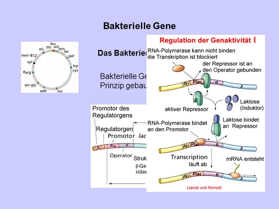 Bakterielle Gene Das Bakterienchromosom ist ringförmig. Bakterielle Gene sind nach dem Operon- Prinzip gebaut.