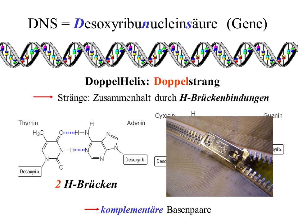 DNS = Desoxyribunucleinsäure (Gene) DoppelHelix: Doppelstrang Stränge: Zusammenhalt durch H-Brückenbindungen 3 H-Brücken komplementäre Basenpaare 2 H-Brücken