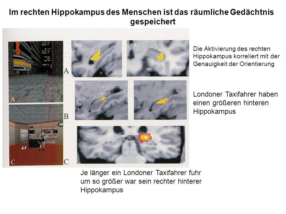 Die Aktivierung des rechten Hippokampus korreliert mit der Genauigkeit der Orientierung Londoner Taxifahrer haben einen größeren hinteren Hippokampus