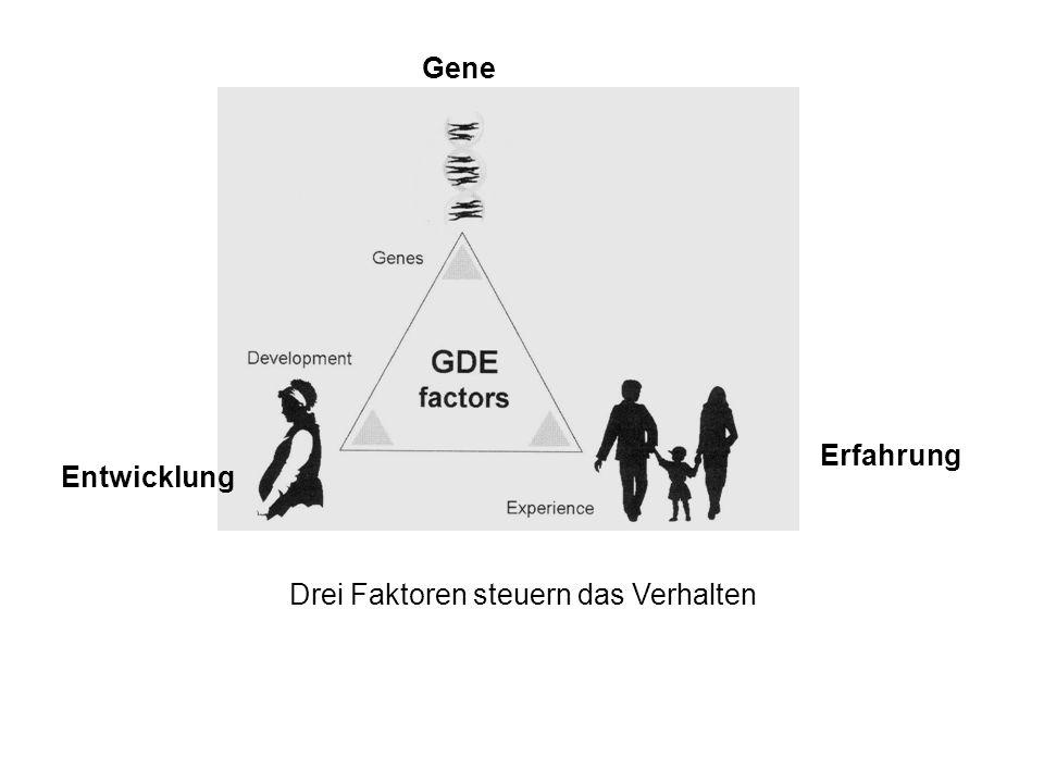 Entwicklung Gene Erfahrung Drei Faktoren steuern das Verhalten