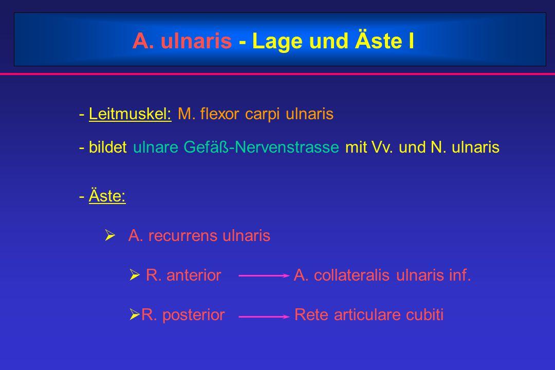 A. ulnaris - Lage und Äste I - Leitmuskel: M. flexor carpi ulnaris - bildet ulnare Gefäß-Nervenstrasse mit Vv. und N. ulnaris - Äste:  A. recurrens u